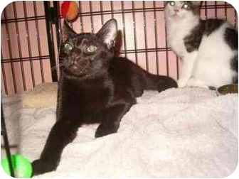 Domestic Shorthair Cat for adoption in Bedford, Massachusetts - Enzo