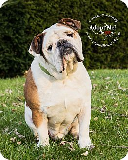 english bulldog rescue ohio english bulldog dog for adoption in cincinnati ohio pugsley 7399