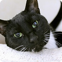 Adopt A Pet :: Amelia Bedelia - Chicago, IL