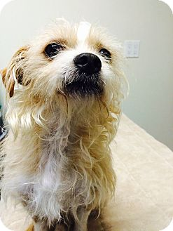 Terrier (Unknown Type, Small) Mix Dog for adoption in Seattle, Washington - Navidad