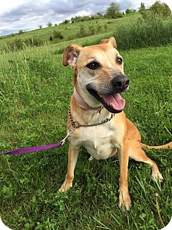 Shepherd (Unknown Type)/Labrador Retriever Mix Dog for adoption in Maryville, Missouri - Carly