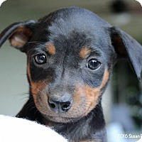 Adopt A Pet :: Jolene - Bedford, VA