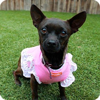 Chihuahua Mix Dog for adoption in Studio City, California - Mimi