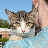 American Shorthair Kitten for adoption in Hopkinsville, Kentucky - Willow