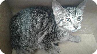 Domestic Shorthair Cat for adoption in Fayetteville, West Virginia - Rhonda