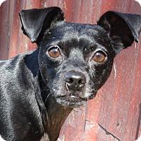 Terrier (Unknown Type, Medium) Mix Dog for adoption in Joplin, Missouri - Pedro