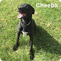 Adopt A Pet :: Cheeba - Muscatine, IA