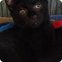 Domestic Shorthair Kitten for adoption in Freeport, New York - Shaft
