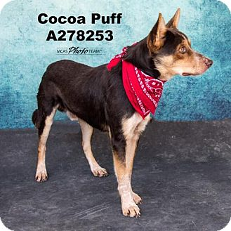 Australian Cattle Dog Mix Dog for adoption in Conroe, Texas - COCOA PUFF