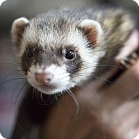 Adopt A Pet :: PABU - Brandy Station, VA
