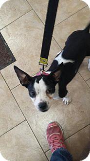 Boston Terrier/French Bulldog Mix Dog for adoption in Warren, Michigan - Eve