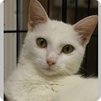 Domestic Mediumhair Cat for adoption in Pittsboro, North Carolina - Topaz