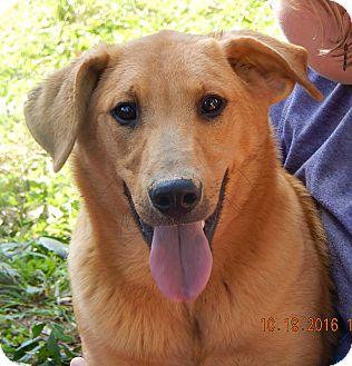 Golden Retriever/German Shepherd Dog Mix Puppy for adoption in Sussex, New Jersey - Hank (60 lb) Video!