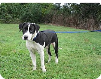 Great Dane/Hound (Unknown Type) Mix Dog for adoption in Cookeville, Tennessee - Bosley