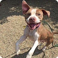 Terrier (Unknown Type, Medium)/American Pit Bull Terrier Mix Dog for adoption in Fulton, Missouri - Hoppy- Ohio