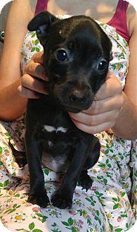 Boston Terrier Mix Puppy for adoption in Maple Grove, Minnesota - Tyra