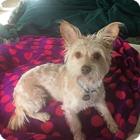 Adopt A Pet :: MAX - 2 YEAR WESTIE MIX MALE.j - Mesa, AZ