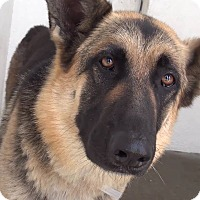 German Shepherd Dog Dog for adoption in San Diego, California - Asami