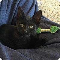Adopt A Pet :: Nico - Toledo, OH