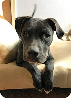 Boxer/American Pit Bull Terrier Mix Dog for adoption in Euless, Texas - Jaxson