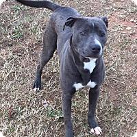 Adopt A Pet :: Arial - Auburn, MA