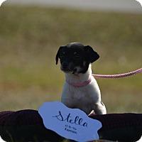 Adopt A Pet :: Stella - Houston, TX