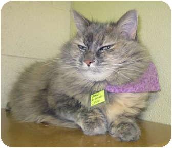 Domestic Mediumhair Cat for adoption in Lakewood, Colorado - Mango