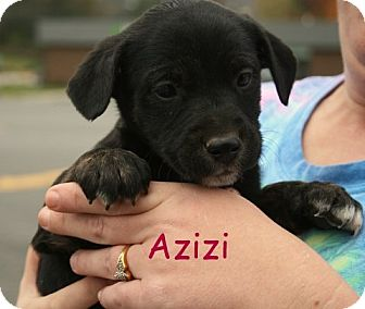 Terrier (Unknown Type, Medium)/Shepherd (Unknown Type) Mix Puppy for adoption in Danbury, Connecticut - Azizi