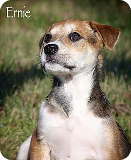 Terrier (Unknown Type, Small)/Jack Russell Terrier Mix Puppy for adoption in Wilmington, Delaware - Ernie