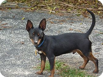 Manchester Terrier Mix Dog for adoption in hollywood, Florida - BOXIE