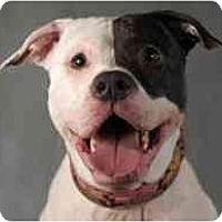 Adopt A Pet :: Marci - Vernon Hills, IL