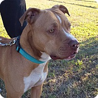American Pit Bull Terrier Mix Dog for adoption in Wichita Falls, Texas - Benny John John