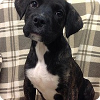 Adopt A Pet :: Candy - Ijamsville, MD