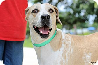 Catahoula Leopard Dog Dog for adoption in Myakka City, Florida - Faith