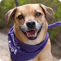 Beagle Mix Dog for adoption in Pacific Grove, California - Sofia