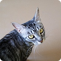 Domestic Shorthair Cat for adoption in Chula Vista, California - Sarah
