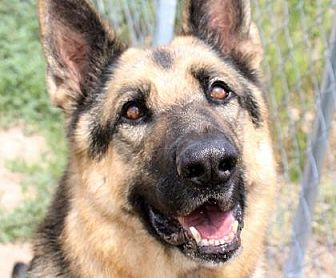 German Shepherd Dog Dog for adoption in Colorado Springs, Colorado - Ronin