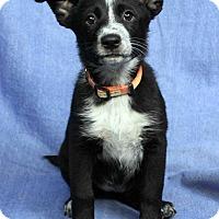 Adopt A Pet :: BEA - Westminster, CO