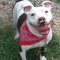 American Pit Bull Terrier/American Bulldog Mix Dog for adoption in Fredericksburg, Virginia - Louie- Courtesy Listing