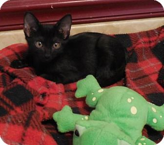Domestic Shorthair Kitten for adoption in San Antonio, Texas - Jordanna