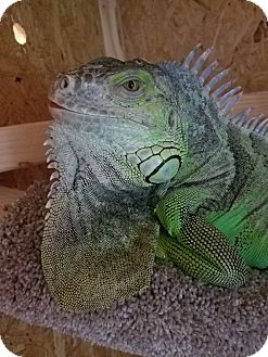 Iguana for adoption in Millerstown, Pennsylvania - FALCOR