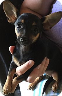 Chihuahua Puppy for adoption in Barnhart, Missouri - Pinchy
