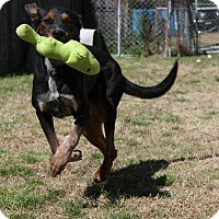 Treeing Walker Coonhound/German Wirehaired Pointer Mix Dog for adoption in Albany, Georgia - Big Boy Wilson