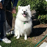 Samoyed Dog for adoption in Arlington Heights, Illinois - Campbell