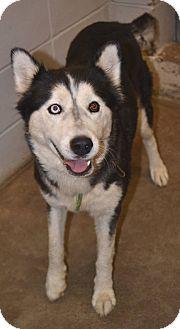 Husky Mix Dog for adoption in Beaumont, Texas - Akari