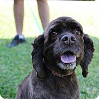 Adopt A Pet :: Coco - Sherman Oaks, CA