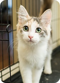 Domestic Mediumhair Kitten for adoption in Los Angeles, California - Angelina