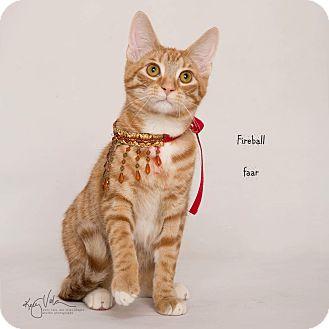 Ragdoll Kitten for adoption in Riverside, California - Fireball