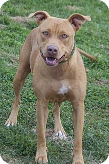 American Pit Bull Terrier/Terrier (Unknown Type, Medium) Mix Dog for adoption in Bedford, Indiana - Allie