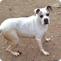 Boxer Dog for adoption in Poland, Indiana - Rosie